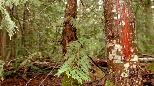bear scratches claw marks territory 2 wet rainy cascade mountain oregon forest in spring - plant bark stock videos and b-roll footage