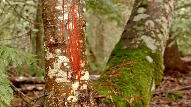 bear scratches claw marks territory 3 wet rainy cascade mountain oregon forest in spring - plant bark stock videos and b-roll footage