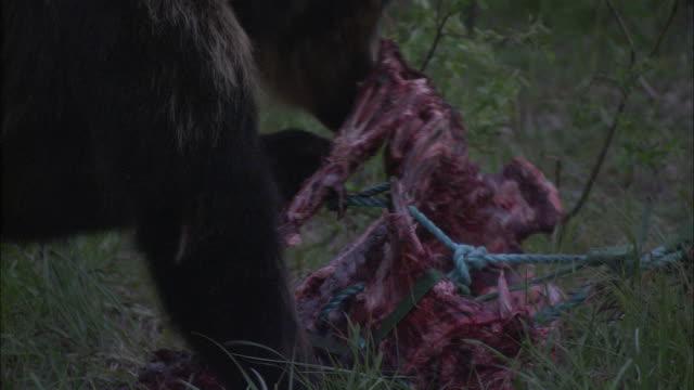 vídeos y material grabado en eventos de stock de a bear shreds a carcass in a meadow. - hurgar en la basura