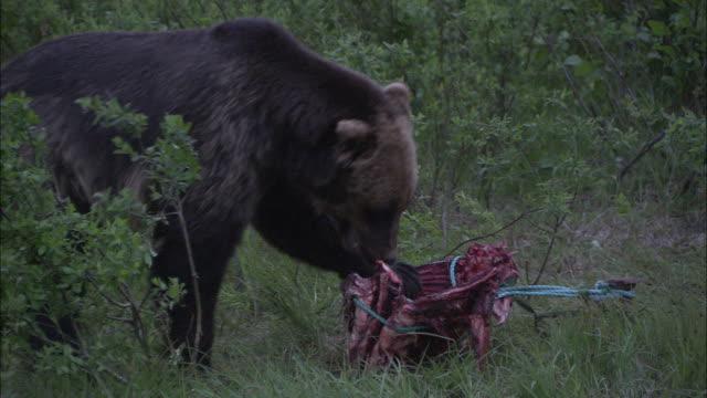vídeos y material grabado en eventos de stock de a bear shreds a staked-out carcass. - hurgar en la basura