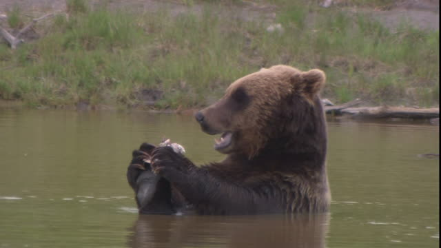 A bear sits in a pond and eats.