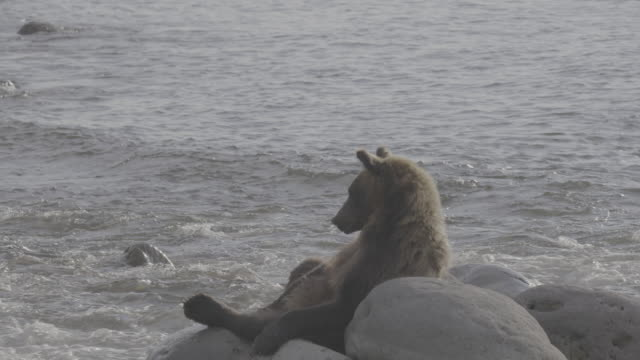 vídeos y material grabado en eventos de stock de bear sitting on coastal rocks and resting, shiretoko, japan - recostarse