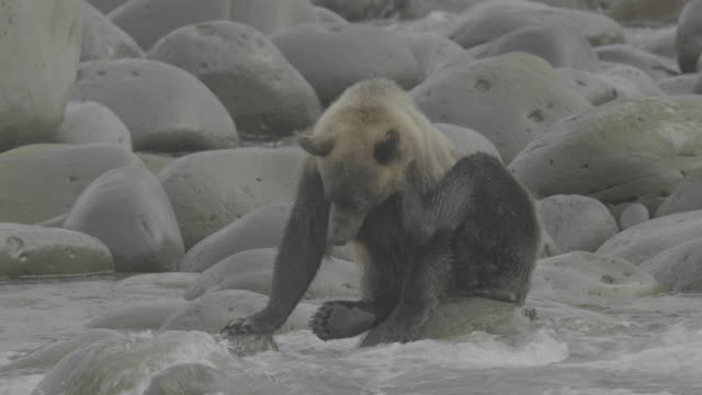 Bear sitting on coastal rocks scratches itself, Shiretoko, Japan