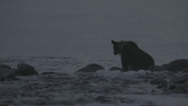 bear sitting on coastal rocks, shiretoko, japan - rapid stock videos & royalty-free footage