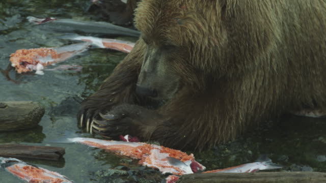 vídeos de stock, filmes e b-roll de cu bear surrounded by dead salmon, mcneil river game range, alaska, 2011 - onívoro