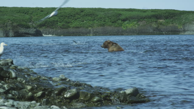 bear takes salmon to shore and leaves, second bear in water while salmon leap, mcneil river game range, alaska, 2011 - 獲った魚点の映像素材/bロール