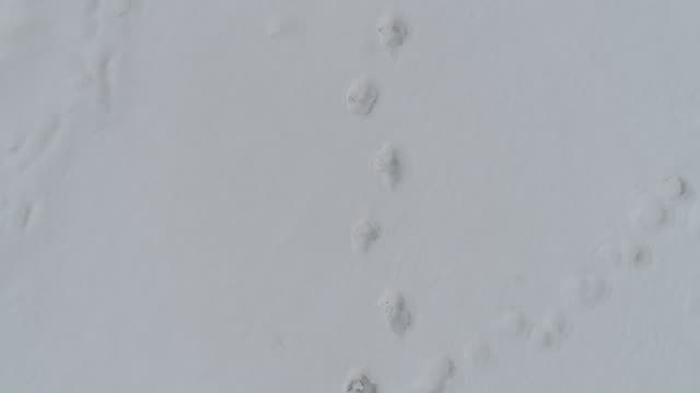 bear tracks on snowfield of kamchatka, russia - footprint stock videos & royalty-free footage