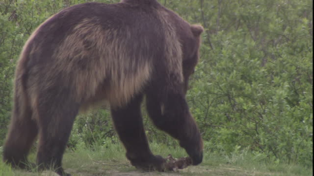 a bear tries to snap a piece of carcass in its paws. - zuschnappen stock-videos und b-roll-filmmaterial