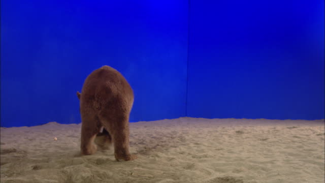 vídeos de stock, filmes e b-roll de a bear vocalizes then chases a treat that falls into the sand. - onívoro