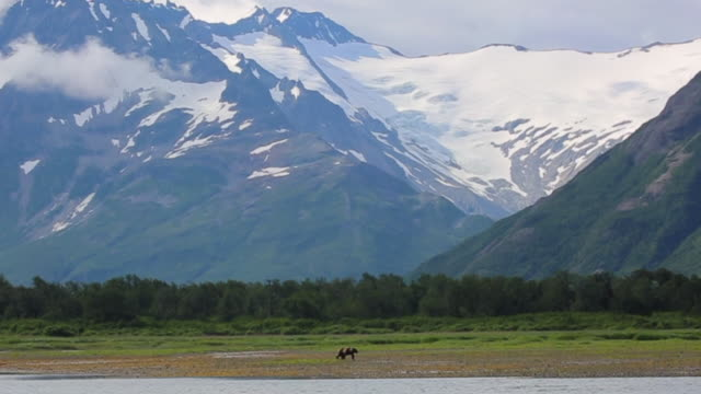 stockvideo's en b-roll-footage met bear walking in alaskan wilderness - wildernis