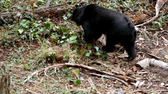 stockvideo's en b-roll-footage met bear walking through the woods - foerageren