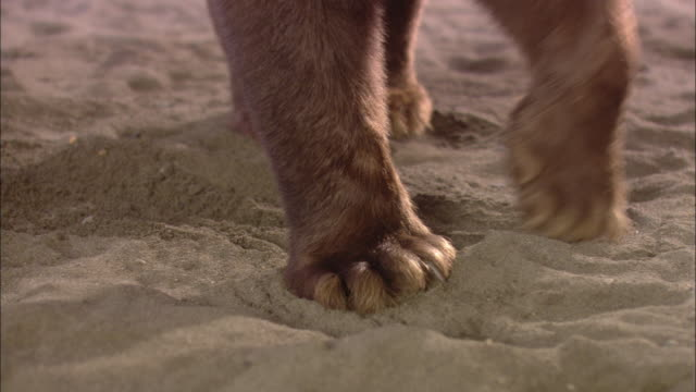 A bear walks across the sand and begins digging.