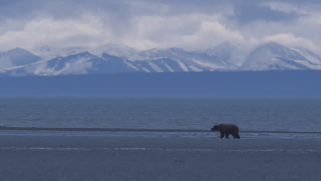 bear walks along side of water, snowy mountains in background,  alaska, 2009 - alaska stato usa video stock e b–roll
