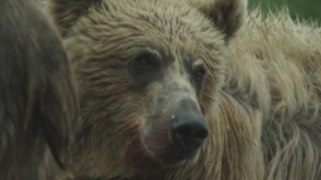 cu bear with blood round mouth, mcneil river game range, alaska, 2011 - braunbär stock-videos und b-roll-filmmaterial