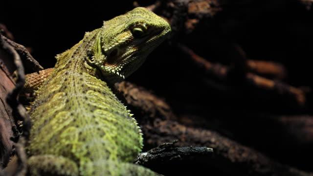 vidéos et rushes de dragon barbu grimpant un arbre pris dans une profondeur peu profonde de champ. - reptile