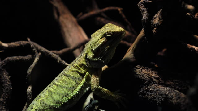 bearded dragon climbing a tree taken in a shallow depth of field. - animal eye stock videos & royalty-free footage