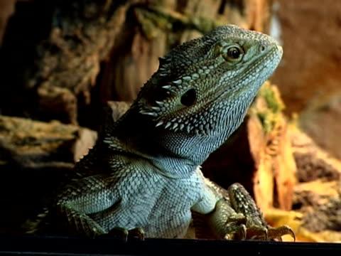 stockvideo's en b-roll-footage met bearded dragon pal - gepunt