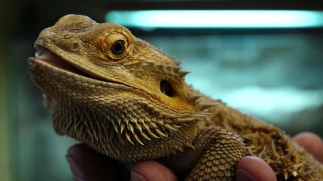 vídeos de stock, filmes e b-roll de bearded dragon - reptile