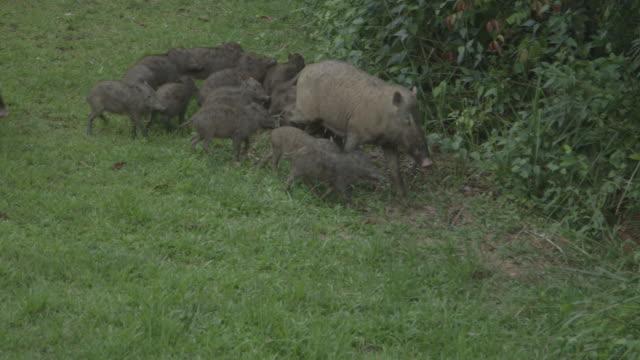 bearded pig family running through clearing. - griskulting bildbanksvideor och videomaterial från bakom kulisserna