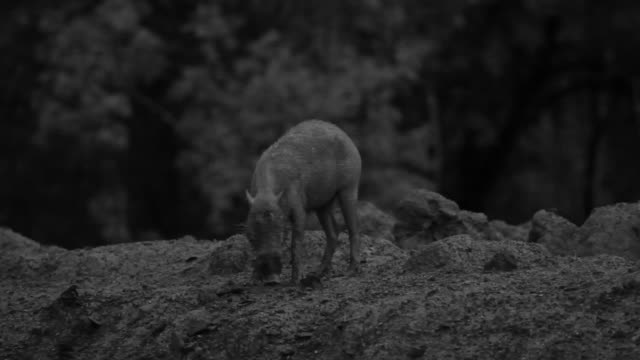 bearded pig forages at night, malaysia. - foraggiamento video stock e b–roll