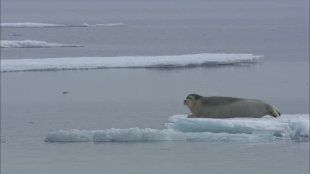 a bearded seal dives off sea-ice in svalbard, arctic norway. - seals stock videos and b-roll footage