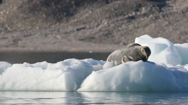 bearded seal on iceberg, svalbard - bearded seal stock videos & royalty-free footage