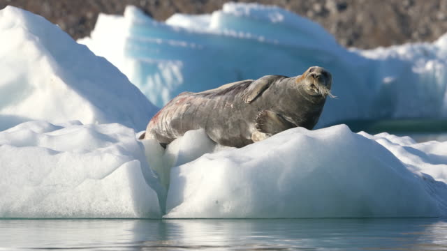 stockvideo's en b-roll-footage met bearded seal on iceberg, svalbard - arctis