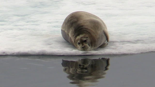 bearded seal on sea ice, svalbard, norway - bearded seal stock videos & royalty-free footage
