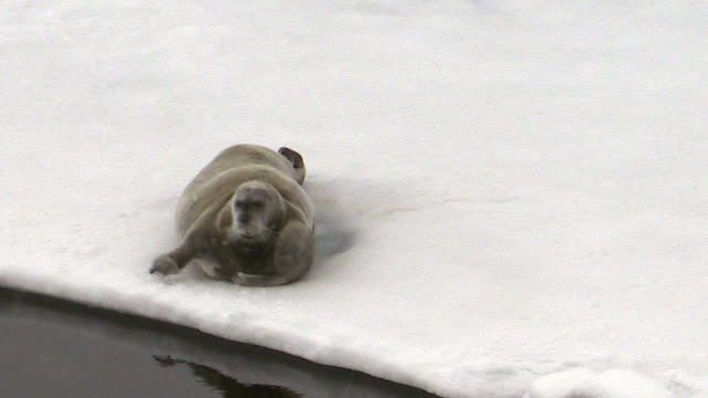 bearded seal on sea ice, svalbard, norway - seals stock videos and b-roll footage