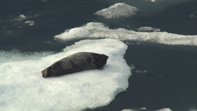 a bearded seal rests on a fragment of ice, startles, and then settles down. - bearded seal stock videos & royalty-free footage