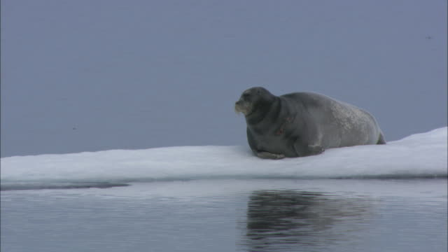 a bearded seal rests on an ice flow in svalbard, norway. - seals stock videos and b-roll footage