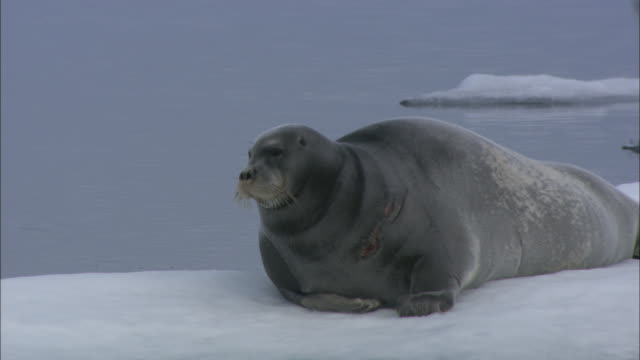 a bearded seal rests on an ice flow in svalbard, norway. - bearded seal stock videos & royalty-free footage