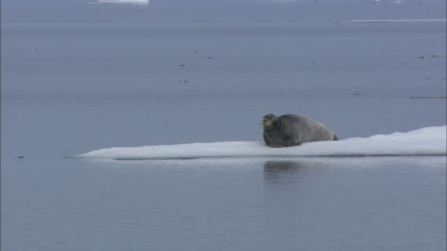 a bearded seal rests on sea ice in svalbard, arctic norway. - bearded seal stock videos & royalty-free footage