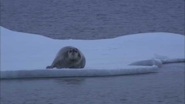 a bearded seal rests on sea ice. - bearded seal stock videos & royalty-free footage