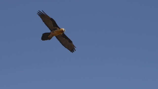 Bearded vulture flying in the clear sky