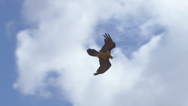 Bearded vulture flying in the sky, slow motion