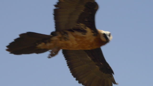 Bearded vulture flying the thermals of the simian mountains