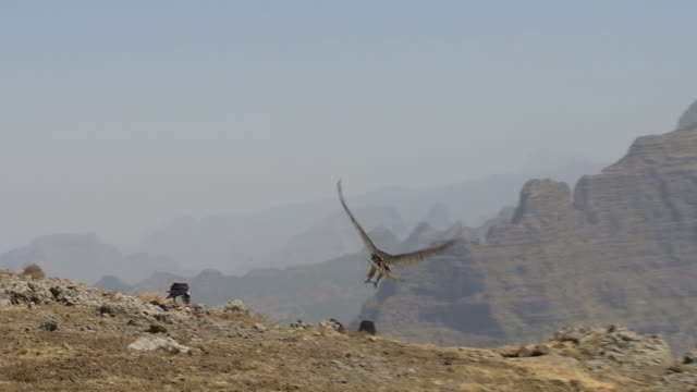 Bearded vulture landing on a cliff in the simian mountains, a raven already eating from a goat corpse