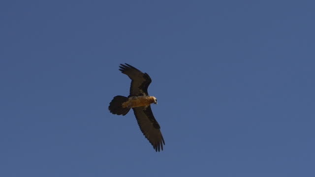 Bearded vulture soaring in the blue sky
