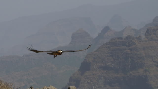 bearded vulture soaring over the simian mountains - nationalpark stock-videos und b-roll-filmmaterial
