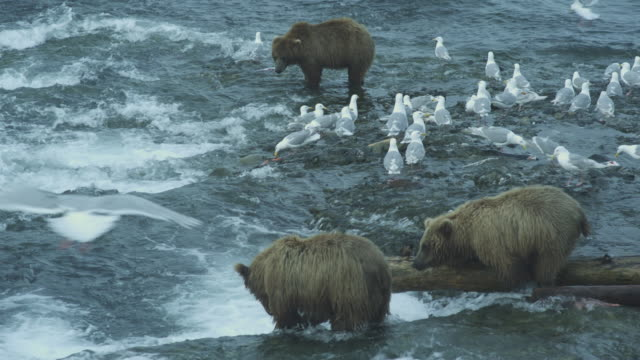 bears fishing at mouth of river, seagulls surrounding, bear balances on tree trunk, mcneil river game range, alaska, 2011 - salmon stock videos & royalty-free footage