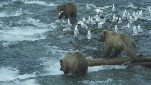 bears fishing at mouth of river, seagulls surrounding, mcneil river game range, alaska, 2011 - fang stock-videos und b-roll-filmmaterial