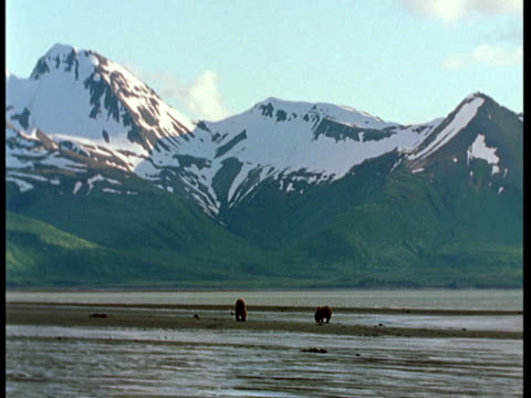 bears forage along a beach at the base of snowy alaskan mountains. - ebbe stock-videos und b-roll-filmmaterial