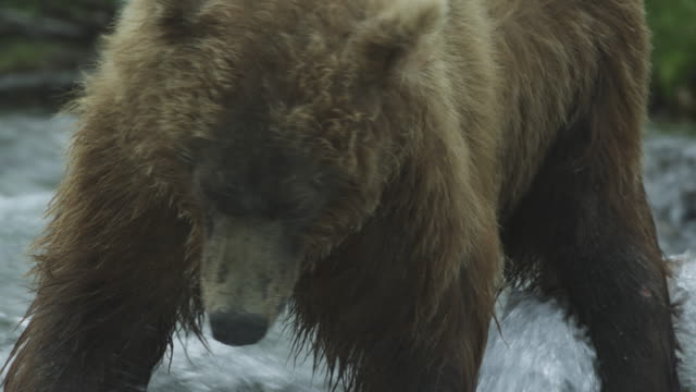cu bear's head as bear stands in river, mcneil river game range, alaska, 2011 - salmon stock videos & royalty-free footage