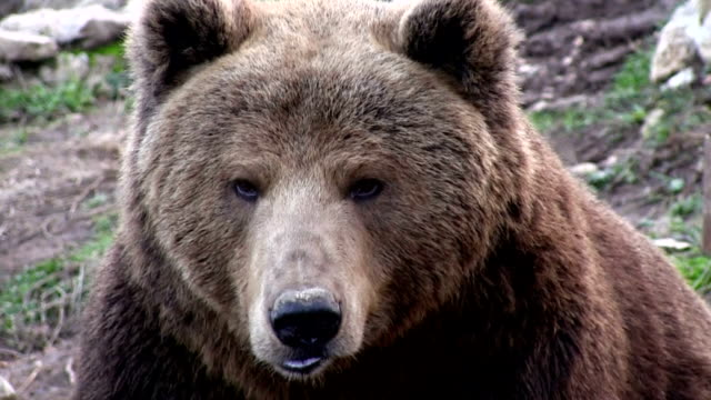 bears in croatia inthe refugium ursorum kuterevo - bear stock videos and b-roll footage