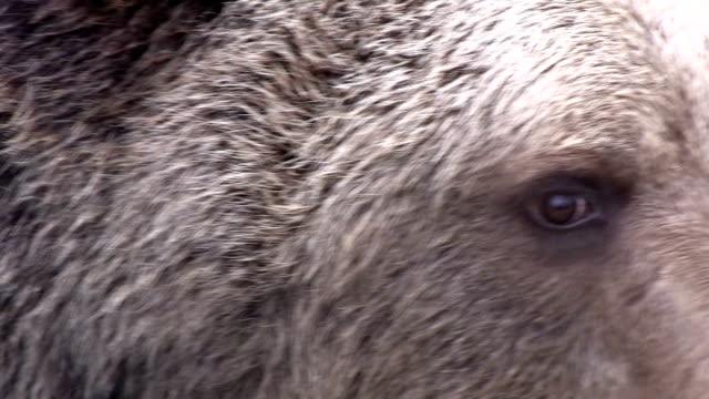 bears in croatia inthe refugium ursorum kuterevo - tierisches haar stock-videos und b-roll-filmmaterial