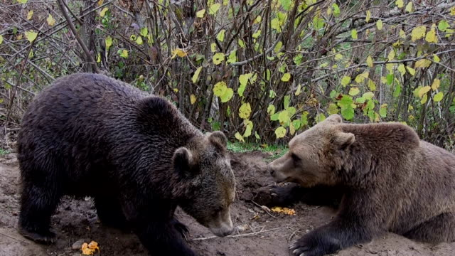 bears in croatia inthe refugium ursorum kuterevo - croazia video stock e b–roll