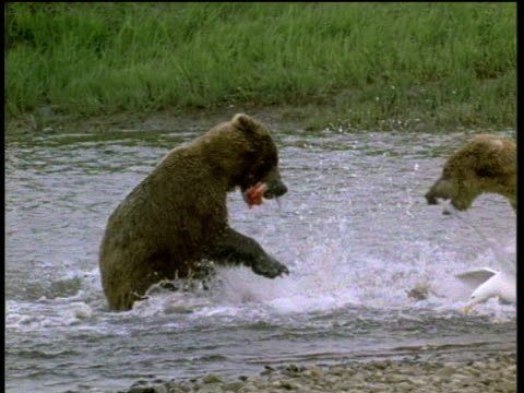2 bears in river fight over dead salmon, seagulls in foreground. Victorious bear with dead salmon in mouth walks towards camera, Alaska