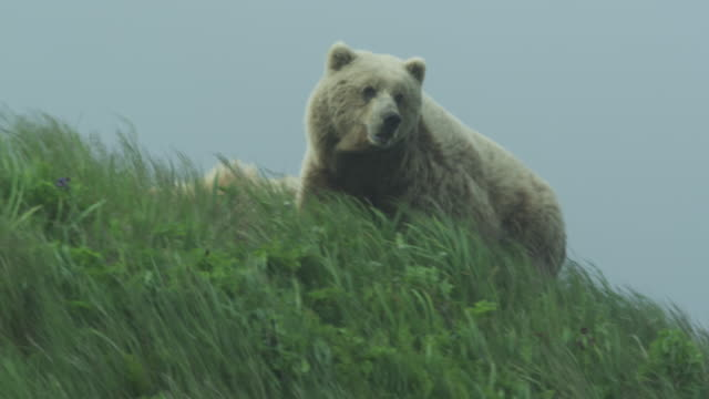 bears look over grassy hill then descend, mcneil river game range, alaska, 2011 - aggression stock videos & royalty-free footage
