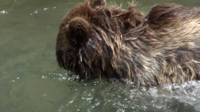 vidéos et rushes de bears of bern - animaux en captivité